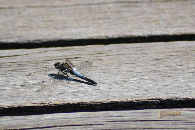 Libelle am Federsee bei Bad Buchau