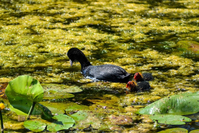 Tierwelt am Federsee bei Bad Buchau